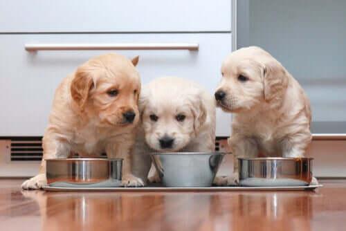 Hvalpe spiser sammen og illustrerer god ernæring til kæledyr