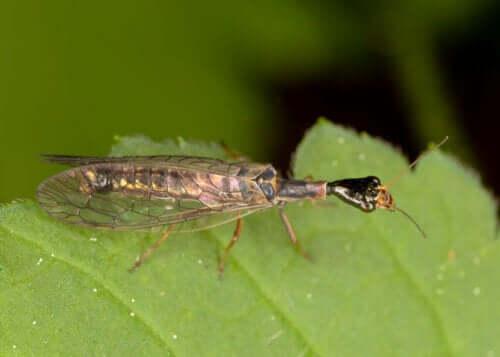 Disse insekter bruges til biologisk skadedyrskontrol