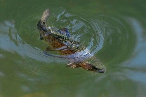 Regnbueørred i vand