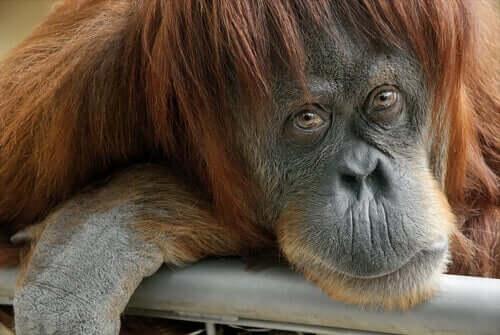 Orangutang kigger på kamera