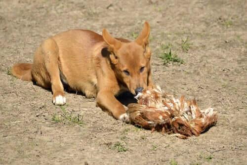 Nogle vilde hunde spiser fugle