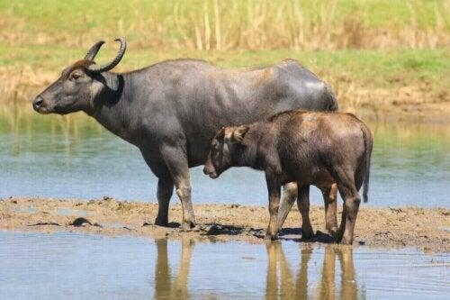Bøfler og tamkvæg: En ny symbiose