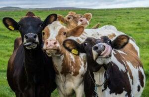 Man kan få gavn af at anvende etologi på bondegårdsdyr såsom køer