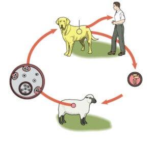 Parasittens cyklus