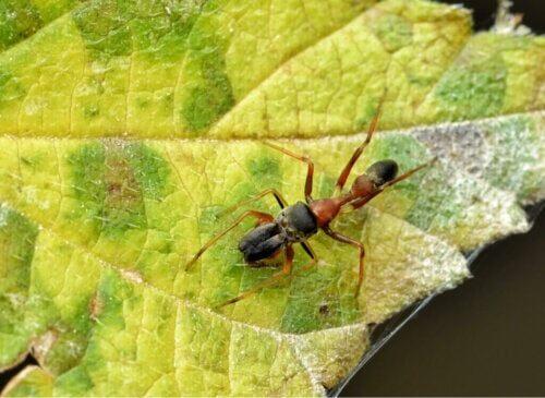 Myrelignende edderkopper: Myrmarachne-slægten