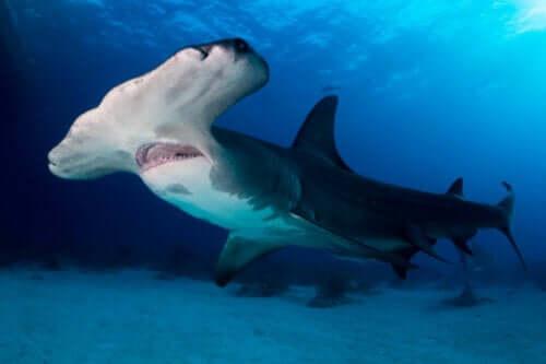 Over 300 arter af hajer og rokker i fare for udryddelse