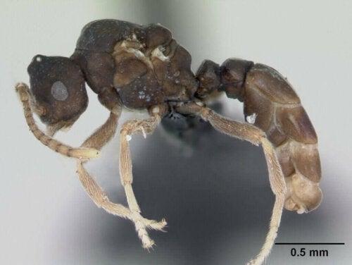 Anergates atratulus myrer og deres utrolige adfærd