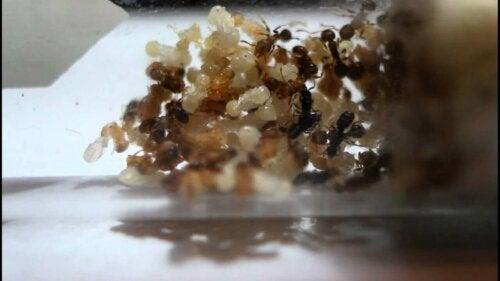 Koloni af Anergates atratulus myrer
