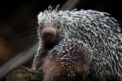 Brasiliansk pindsvin: Smuk og truet