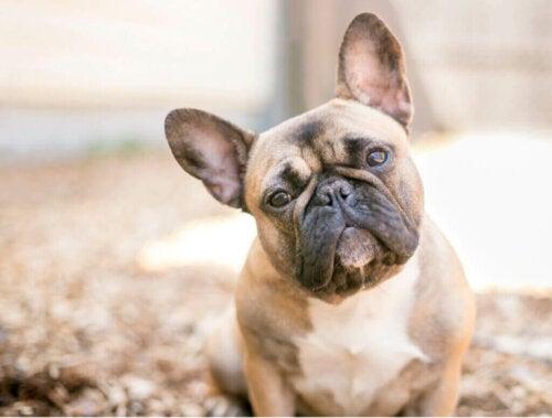 Bulldogracer: Historie og karaktertræk