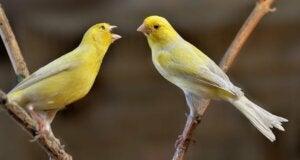 Kanariefuglens sang