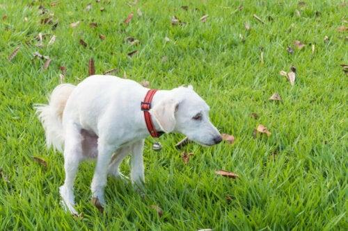 Hvad skal du give en hund med diarre at spise?