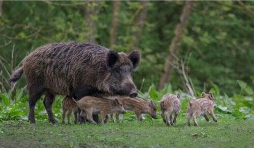 Er aujeszkys sygdom vigtig hos vildsvin eller kun hos grise?
