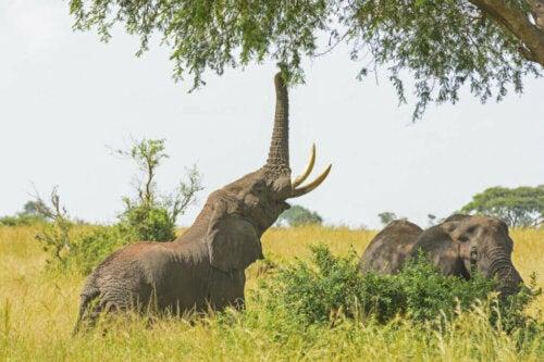 Hvad spiser elefanter i fangenskab?