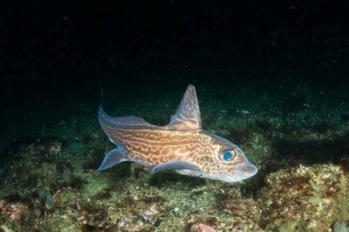 Havmus er en fisk uden skæl