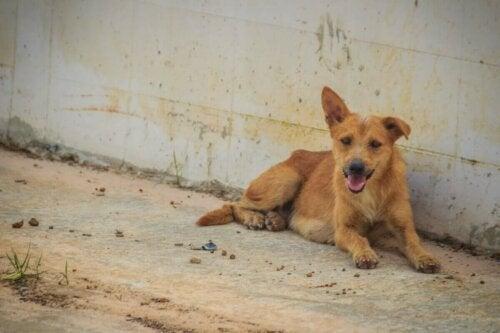 Hund på gade symboliserer forsvundne hunde efter eksplosioner i Beirut