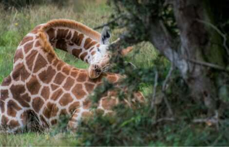 En giraf sover