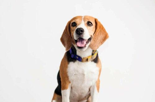 Glad beagle