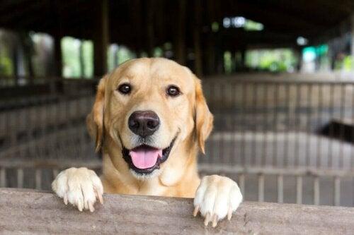 Glad labrador