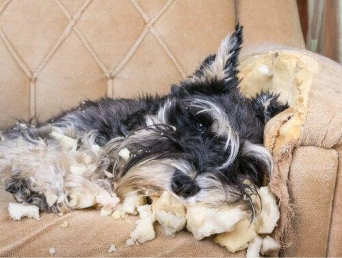 Hund, der har ødelagt sofa