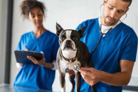 Dyrlæge tjekker hund for åndenød hos kæledyr