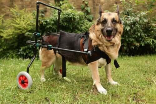Autoimmune sygdomme hos hunde: Dette bør du vide