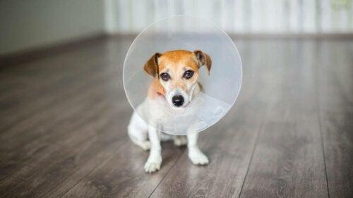Hund med krave illustrerer kæledyr efter en operation