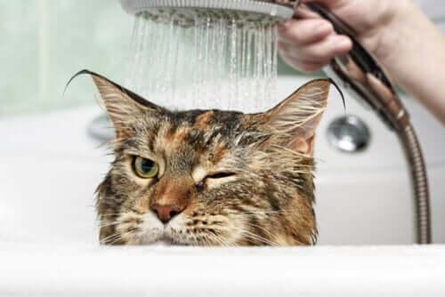 Hvorfor er det, at katte hader vand?
