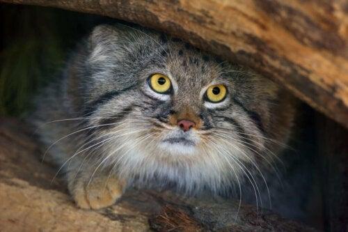 Vild kat gemmer sig under sten