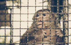 Illegal handel med dyr illustreres af abe i bur