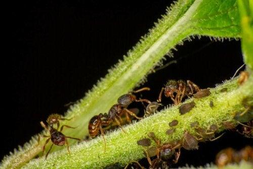 Myrer på plante
