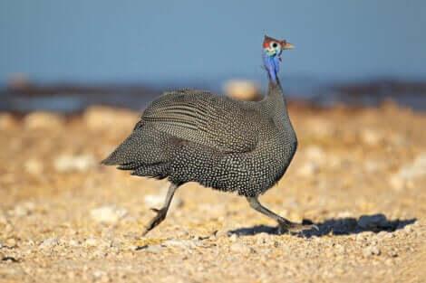 Perlehønen er eksempel på slægtninge til hønen