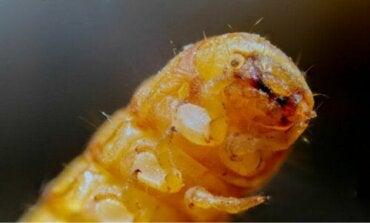 Findes der plastikædende larver?