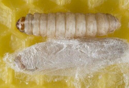 Eksempel på plastikædende larver