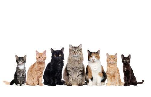 Hvor mange tamme katteracer findes der?