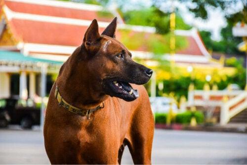 Thai ridgeback er gode racer til vagthunde