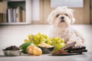 E-vitamin til hunde og katte illustreres med hund bag fødevarer med E-vitamin