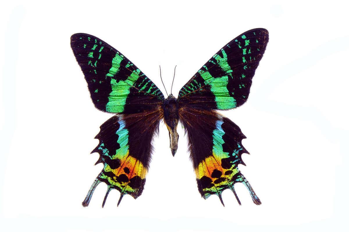 Sommerfugl med flotte grønne farver