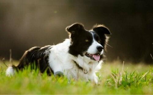 Hund bliver millionær efter at arve 5 millioner dollars fra ejer