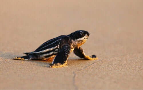 Nyudklækkede læderskildpadder bliver desorienterede