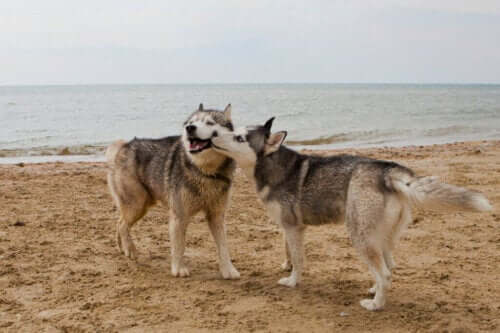 Seksuelt overførte sygdomme hos hunde
