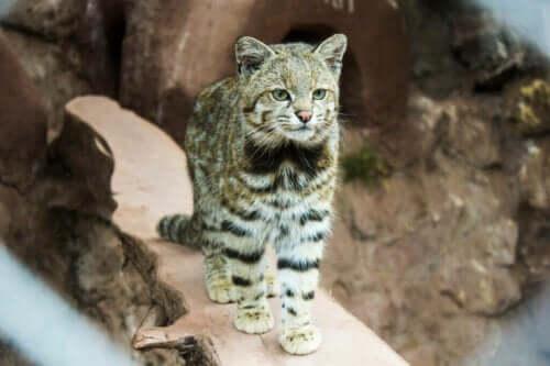 Andeskatten: Et alvorligt truet kattedyr