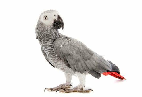 Grå papegøje