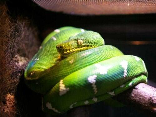 En grøn træboa: Pleje i fangenskab