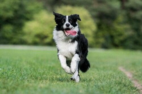 Hund, der løber med tungen ud af munden