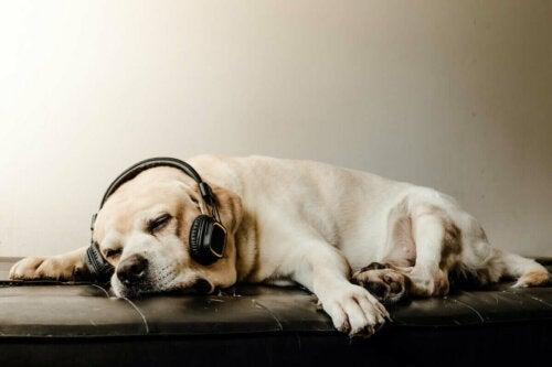 Hund med høretelefoner