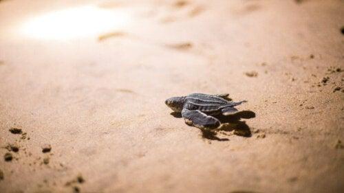 Lille skildpadde i sand