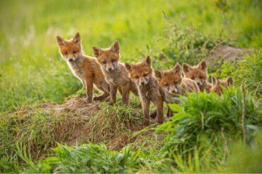 Hvorfor er det, at nogle dyremødre spiser deres afkom?