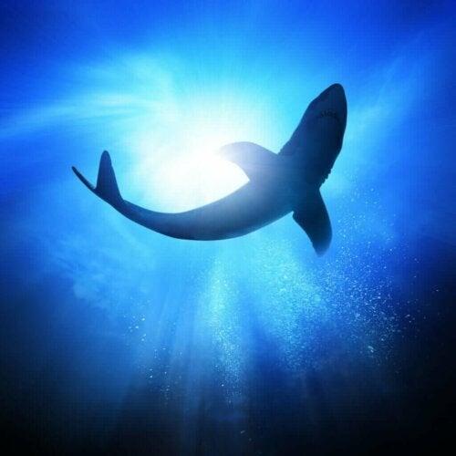 Den stikkende haj: Egenskaber og levested