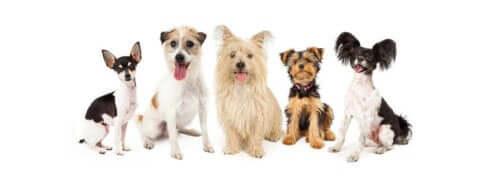 Hunde sammen symboliserer sundhedsproblemer hos små hunderacer